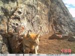 """青海杂多发现野生藏狐冲镜头展现""""迷之微笑"""" - 林业网"""