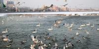 冰雪消融 温暖天气唤醒新疆杜鹃河越冬禽鸟 - 林业网