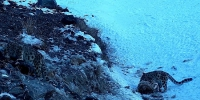 新疆昌吉发现-30℃雪豹觅食 - 林业网