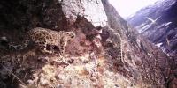 [野生动植物]西藏藏东今年首季度捕捉56次雪豹活动影像 - 林业网
