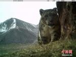 """[野生动植物]青海阿尼玛卿地区首组雪豹""""靓照""""发布 - 林业网"""